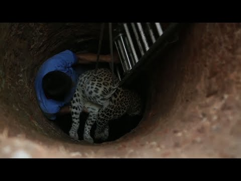 Leopard Rescued From Well in Eastern India