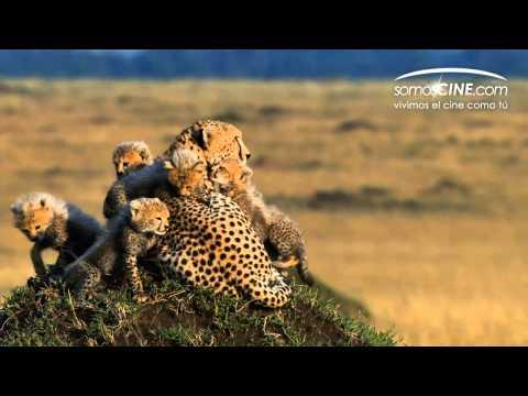 Disney nature: Felinos de África (African Cats) [Trailer HD Doblado Español Latino]