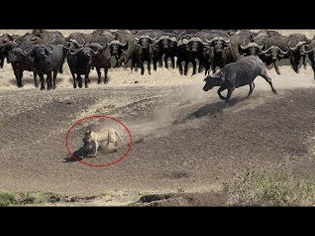 Buffalo Herd Save Their Brother From Hungry Pride Of Lions   Lion Hunting Fail