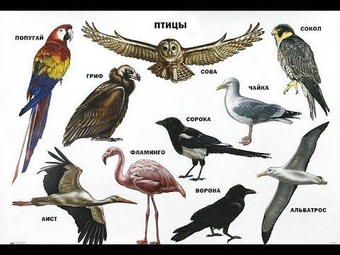 Названия птиц. Птицы. Learn birds' names in Russian language