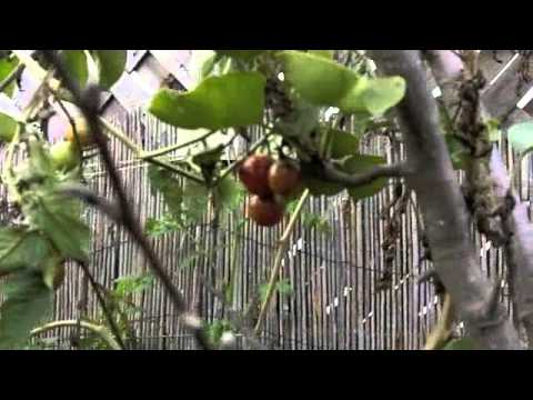 Harvesting Organic Tomatoes in preperation for Drying them in the Omega Dehydrator PART 1