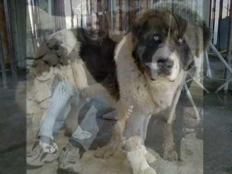 Bucovina Shepherd Dog - Breed Info, Photos and Videos -