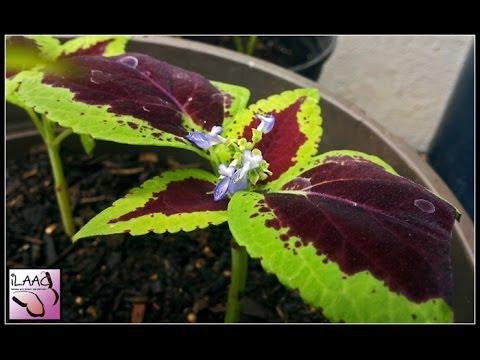 Indoor Garden Experiment -Part 5 (Tomato. Coleus. Onions. Poppy)
