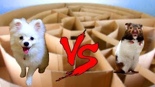 Snowball Dog And Hugo Hamster Running In Circle Maze- Calculating Point Contest