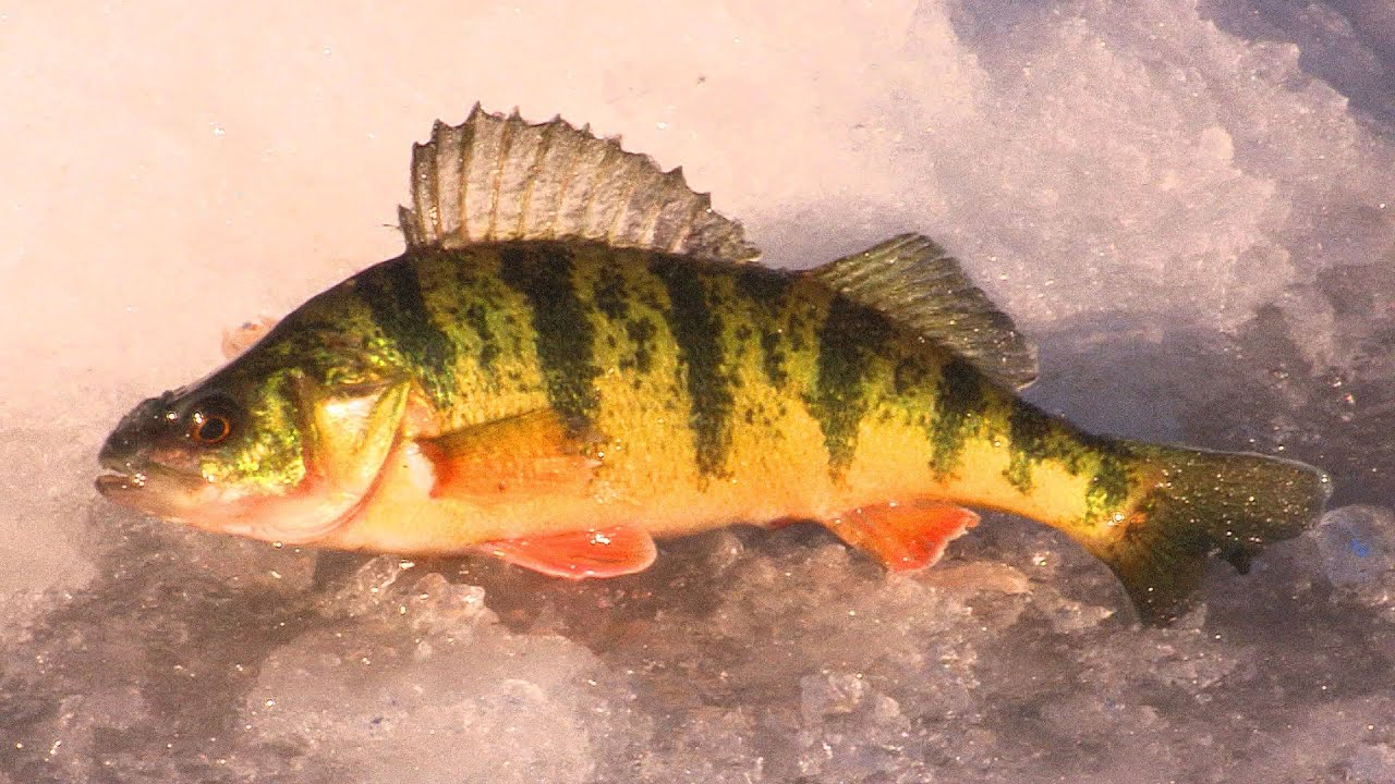ice fishing jumbo perch tips