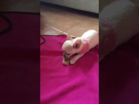 Chihuahua CoCo having her first bone