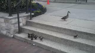 Patos subindo escada