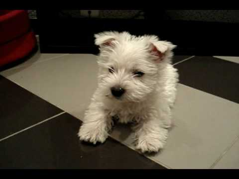 Cute West Highland White Terrier Video