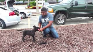 HOW TO TRAINING A PUPPY TO BE A PROTECTION DOG FROM THE BEGINING