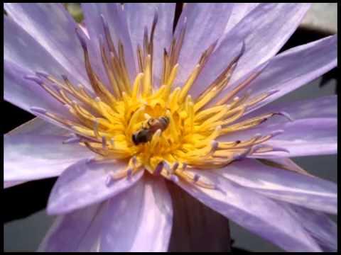 การถ่ายละอองเรณูของพืชดอกโดยอาศัยผึ้ง