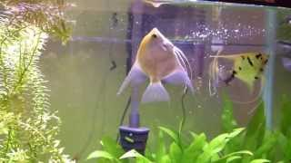 Whats wrong with my fish. swim bladder problems ?