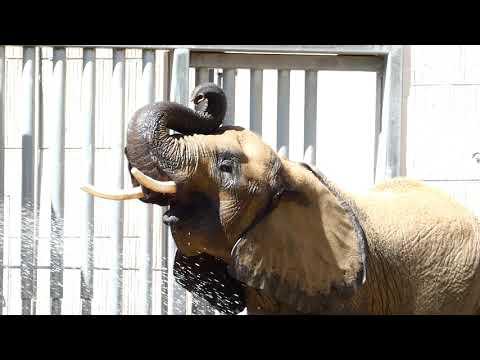 Dusche für Elefantenbaby Kibali 8 Tage alt! Schönbrunn * 13. 7. 2019 Loxodonta africana. Lumix fz82