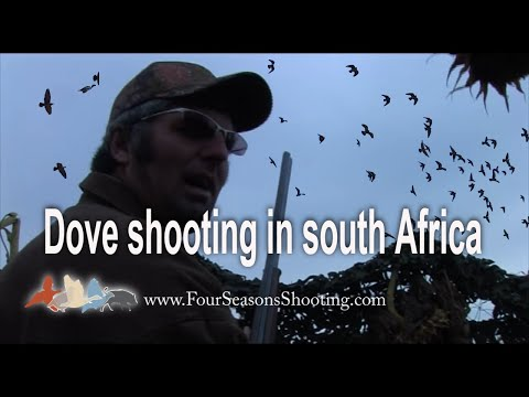 South Africa Dove Hunting.  Africa Pigeon shooting £170 per day March to October 2015