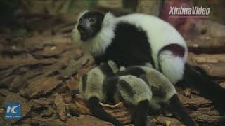 Meet the rare lemur variegatus triplets in S China