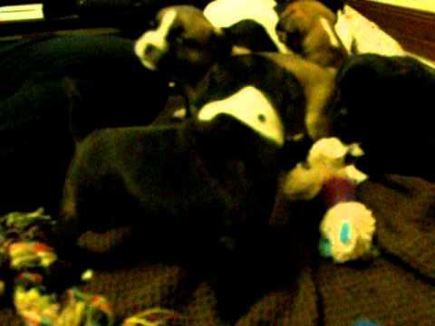 staffy pups for sale victoria Australia