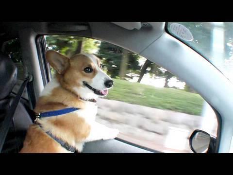 (HD) Drive with Goro@Welsh corgi 20100808 ドライブ