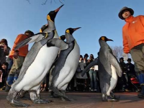 オウサマペンギン 上野動物園で冬のお散歩