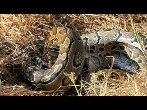 Python in Meru.