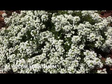 Header of Alyssum maritimum