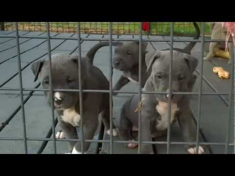 American Pitbull Blue Nose Puppies