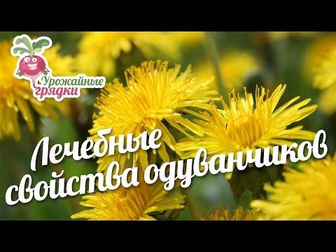 Лечебные свойства одуванчиков #urozhainye_gryadki