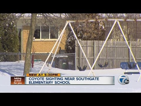 Coyote sighting near Southgate Elementary School