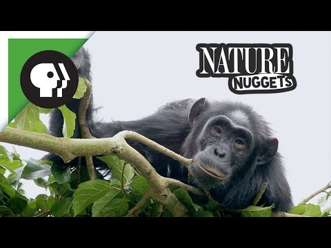 Naptime for Chimpanzee |  NATURE Nuggets