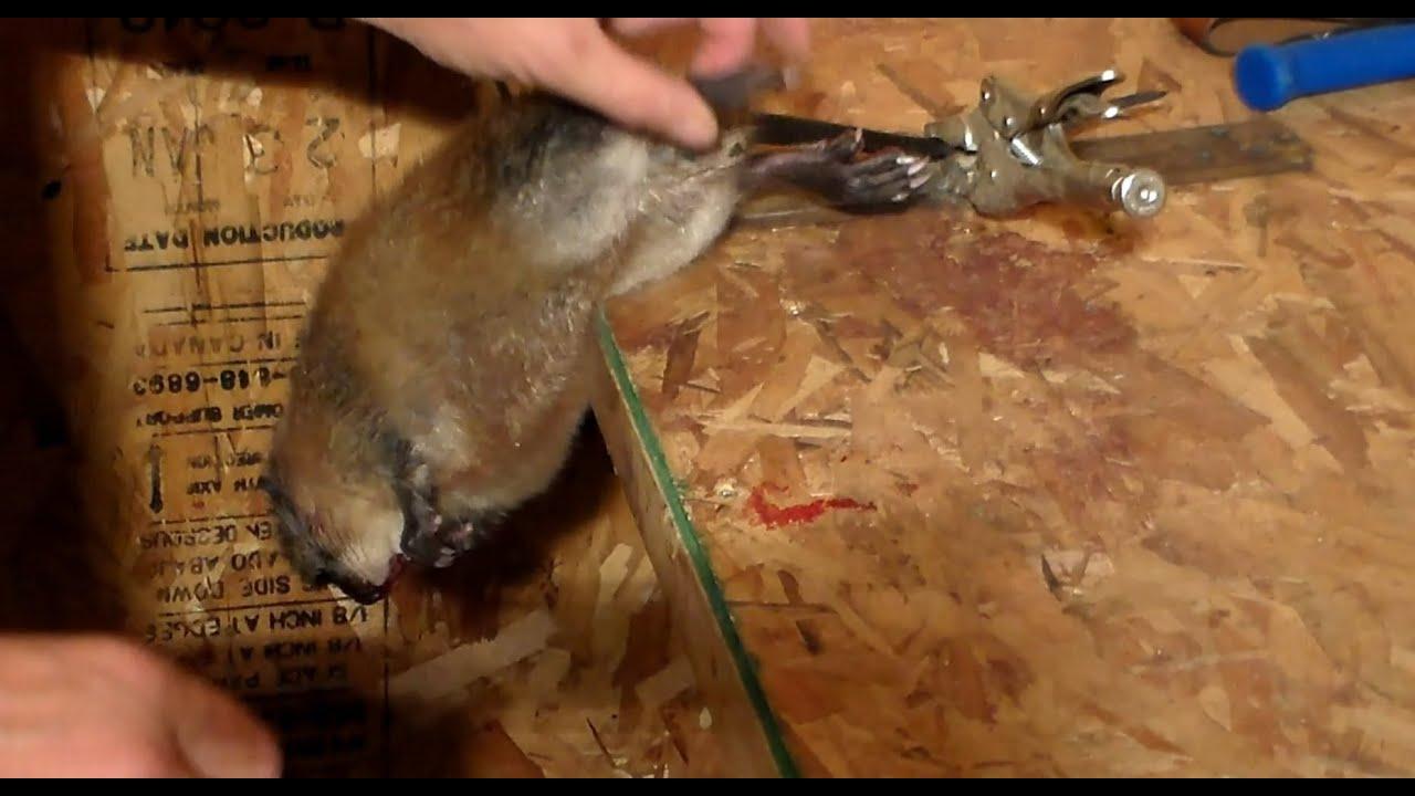 Выделка шкур в домашних ондатры условиях