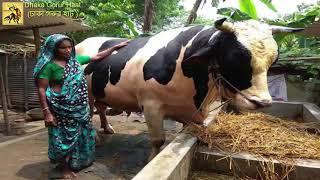 এবারের ঈদ এর বাংলাদেশের সবচেয়ে বড় গরু। the best cow of Eid ul Adha bd