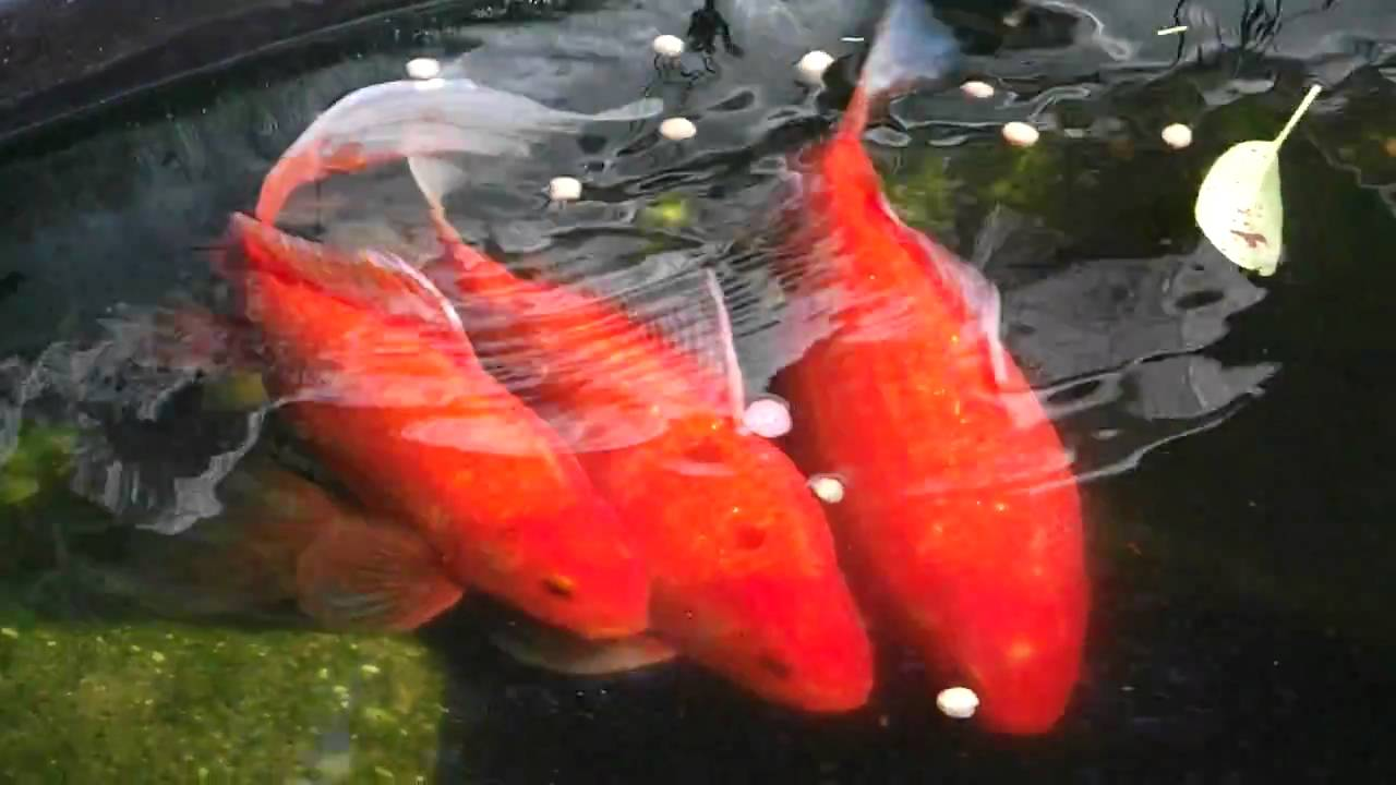 My goldfish pond youtube for Koi pond size