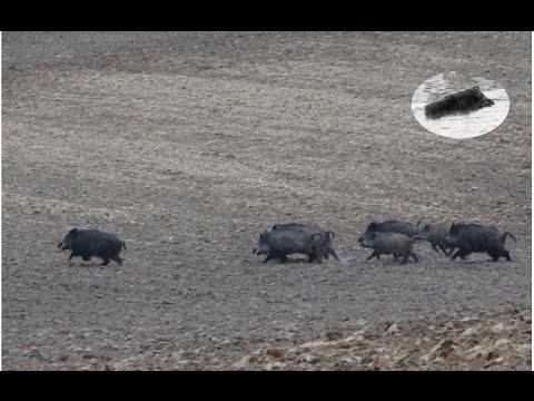 Wild Boar Hunting Best Moments Compilation. Polowanie Zbiorowe Na Dziki - Najlepsze Momenty video