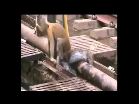 Khỉ cứu bạn bị điện giật.xem thấy tội quá