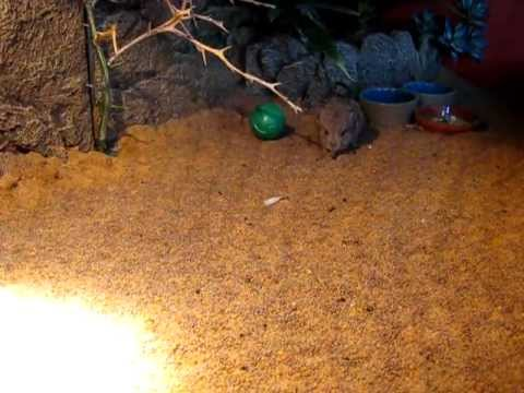 sengi playing with a ball