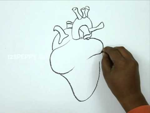 How to Draw a Simple Heart Diagram How to Draw a Human Heart