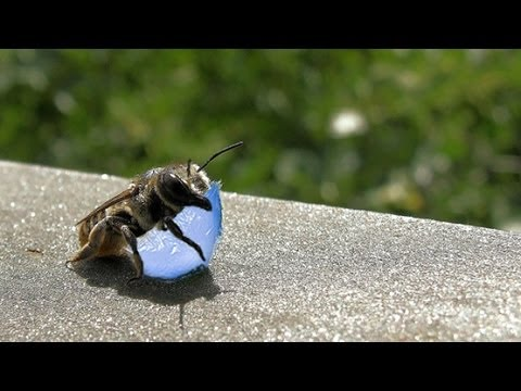 BEES USE PLASTIC TO BUILD NESTS