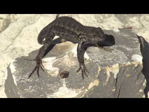 Lizard doing push-ups in the sun at Tablas Creek Vineyard