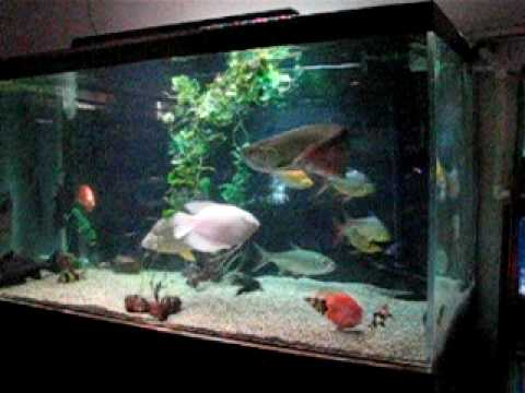 Arowana in a 1 000 gallon fish tank youtube for Fish tank review