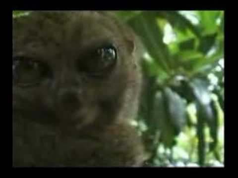 Dramatic Lemur Remix Video