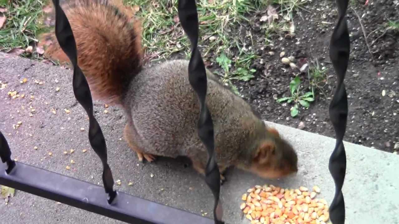Steroid squirrel