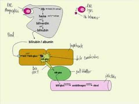 bilirubin metabolism made simple