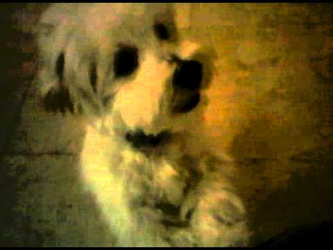 Leo havanese puppy haircut