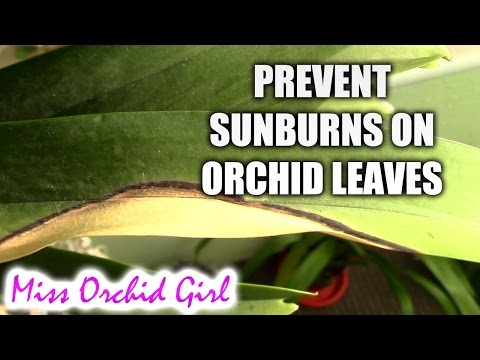 What are sunburns on orchid leaves and how to prevent them
