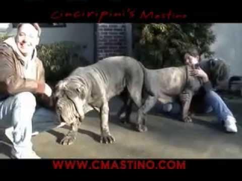 Neapolitan Mastiff Cinciripni