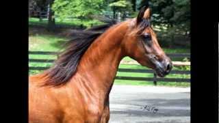 Simply Love - 2009 Bay Arabian Hunter Pleasure Mare for Sale (Semper Fie x Sonora Love by Barbary)
