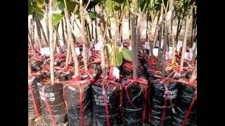 8 loại giống cây ăn quả kinh tế cao