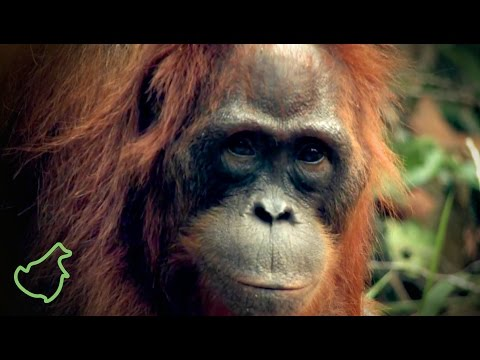 Wildlife Reserve SM Lamandau, Central Kalimantan, Indonesia (HD)