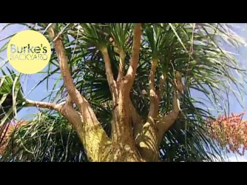 Burke's Backyard, Ponytail Palms