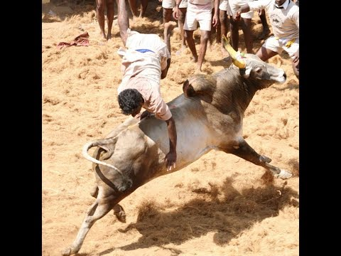2009 P.r Bulls-jallikattu video