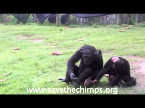 Vicky & Gabe playing - Save the Chimps