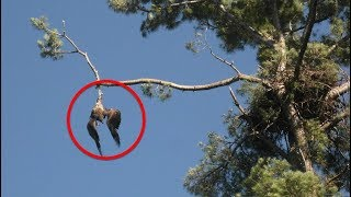 No One Helped This Poor Eagle Dangling from a Tree  But What an Army Vet Did Next Astonishing